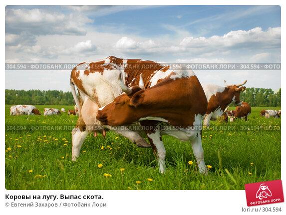 Коровы на лугу. Выпас скота., фото № 304594, снято 28 мая 2008 г. (c) Евгений Захаров / Фотобанк Лори