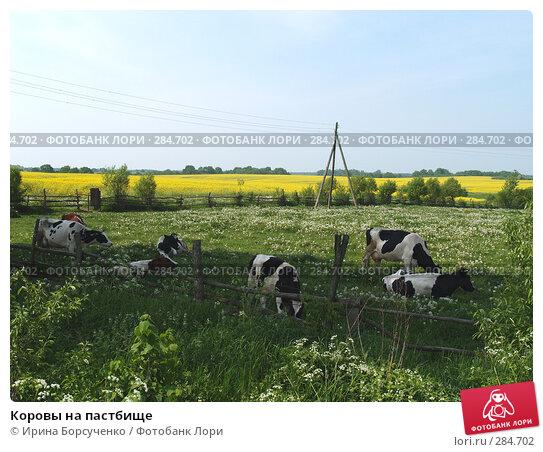 Коровы на пастбище, фото № 284702, снято 27 мая 2007 г. (c) Ирина Борсученко / Фотобанк Лори
