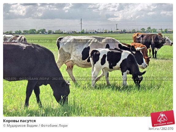 Купить «Коровы пасутся», фото № 282070, снято 13 декабря 2017 г. (c) Мударисов Вадим / Фотобанк Лори