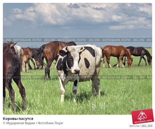 Коровы пасутся, фото № 282250, снято 6 декабря 2016 г. (c) Мударисов Вадим / Фотобанк Лори