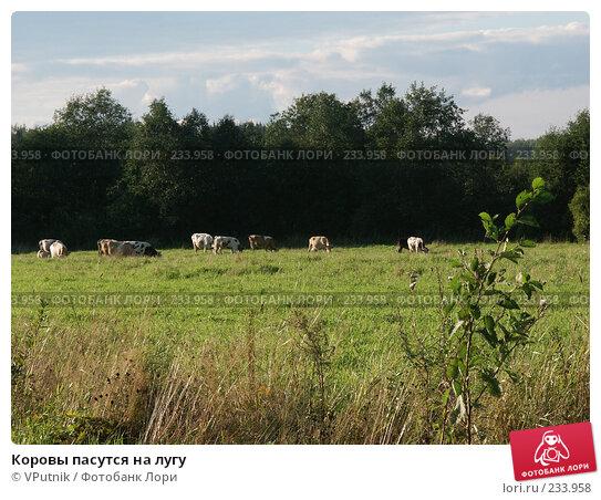Коровы пасутся на лугу, фото № 233958, снято 29 августа 2004 г. (c) VPutnik / Фотобанк Лори