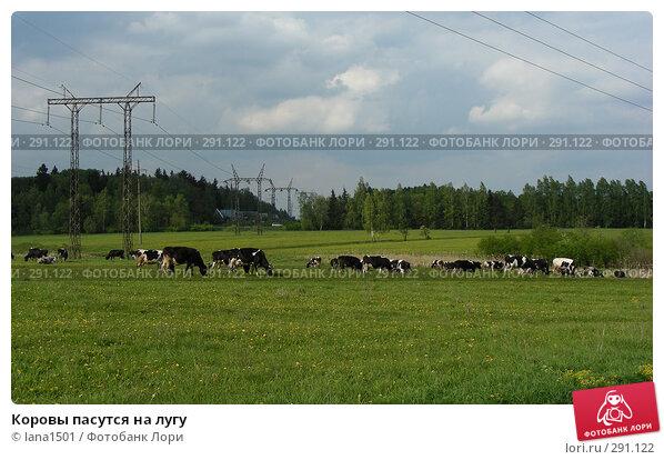 Коровы пасутся на лугу, эксклюзивное фото № 291122, снято 18 мая 2008 г. (c) lana1501 / Фотобанк Лори