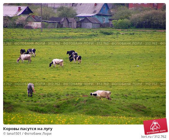 Коровы пасутся на лугу, эксклюзивное фото № 312762, снято 18 мая 2008 г. (c) lana1501 / Фотобанк Лори
