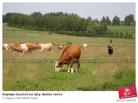 Купить «Коровы пасутся на лугу. Выпас скота», фото № 324630, снято 8 октября 2007 г. (c) Gagara / Фотобанк Лори
