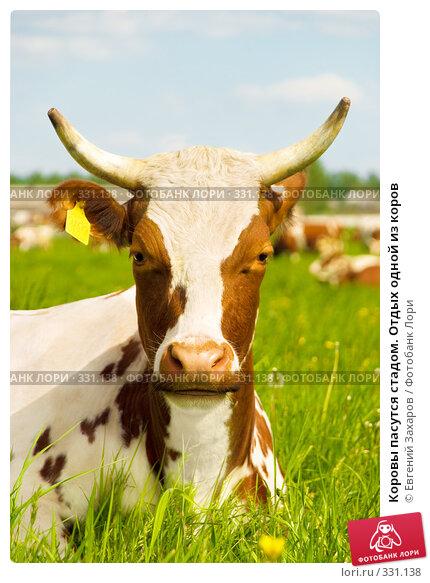 Коровы пасутся стадом. Отдых одной из коров, фото № 331138, снято 28 мая 2008 г. (c) Евгений Захаров / Фотобанк Лори