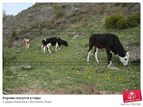 Коровы пасутся у горы, фото № 316362, снято 31 мая 2008 г. (c) Дарья Киселева / Фотобанк Лори