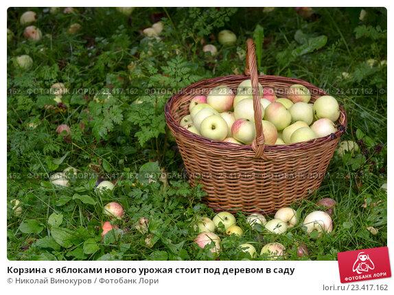 Купить «Корзина с яблоками нового урожая стоит под деревом в саду», фото № 23417162, снято 20 августа 2016 г. (c) Николай Винокуров / Фотобанк Лори