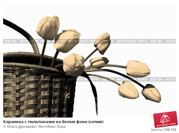 Купить «Корзинка с тюльпанами на белом фоне (сепия)», фото № 338150, снято 14 мая 2005 г. (c) Ольга Дроздова / Фотобанк Лори