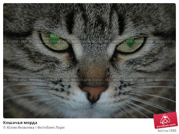 Кошачья морда, фото № 650, снято 9 февраля 2004 г. (c) Юлия Яковлева / Фотобанк Лори