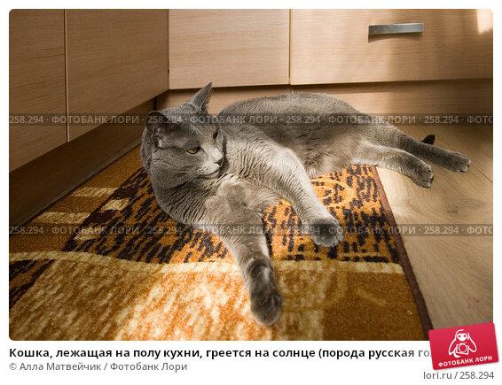 Кошка, лежащая на полу кухни, греется на солнце (порода русская голубая), фото № 258294, снято 5 апреля 2008 г. (c) Алла Матвейчик / Фотобанк Лори