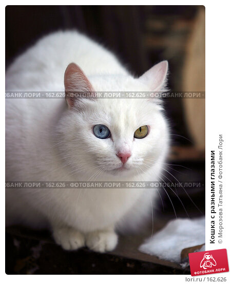 Кошка с разными глазами, фото № 162626, снято 15 января 2006 г. (c) Морозова Татьяна / Фотобанк Лори