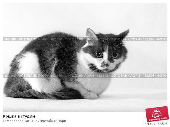 Кошка в студии, фото № 162598, снято 18 февраля 2005 г. (c) Морозова Татьяна / Фотобанк Лори