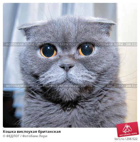Кошка вислоухая британская, фото № 208522, снято 16 февраля 2008 г. (c) ФЕДЛОГ.РФ / Фотобанк Лори