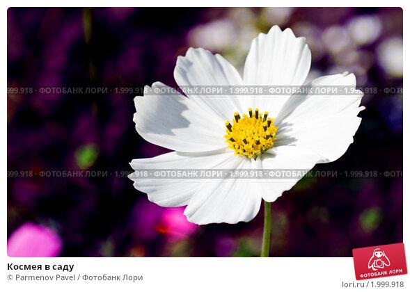 Купить «Космея в саду», фото № 1999918, снято 19 июля 2019 г. (c) Parmenov Pavel / Фотобанк Лори