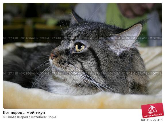 Кот породы мейн-кун, фото № 27418, снято 15 апреля 2006 г. (c) Ольга Шаран / Фотобанк Лори