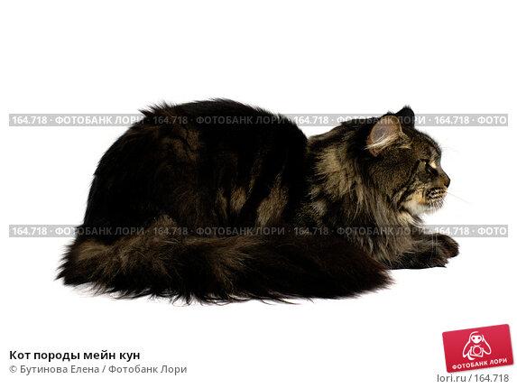 Кот породы мейн кун, фото № 164718, снято 6 мая 2007 г. (c) Бутинова Елена / Фотобанк Лори