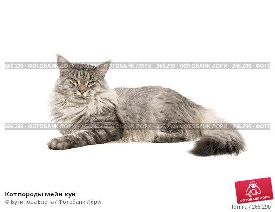 Кот породы мейн кун, фото № 266290, снято 30 апреля 2008 г. (c) Бутинова Елена / Фотобанк Лори