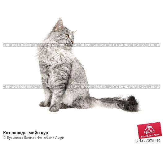 Кот породы мейн кун, фото № 276410, снято 8 мая 2008 г. (c) Бутинова Елена / Фотобанк Лори