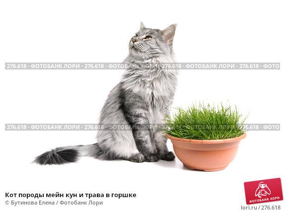 Купить «Кот породы мейн кун и трава в горшке», фото № 276618, снято 8 мая 2008 г. (c) Бутинова Елена / Фотобанк Лори