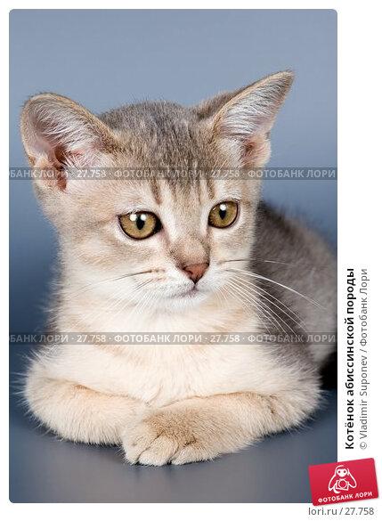 Котёнок абиссинской породы, фото № 27758, снято 7 февраля 2007 г. (c) Vladimir Suponev / Фотобанк Лори