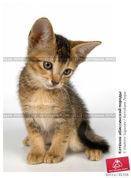 Купить «Котёнок абиссинской породы», фото № 33318, снято 8 апреля 2007 г. (c) Vladimir Suponev / Фотобанк Лори