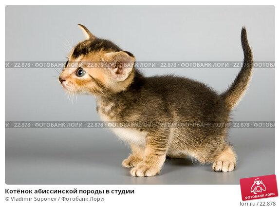 Котёнок абиссинской породы в студии, фото № 22878, снято 10 марта 2007 г. (c) Vladimir Suponev / Фотобанк Лори