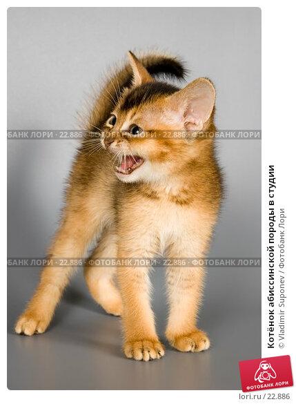 Котёнок абиссинской породы в студии, фото № 22886, снято 10 марта 2007 г. (c) Vladimir Suponev / Фотобанк Лори