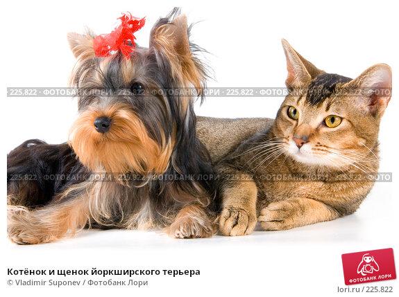 Котёнок и щенок йоркширского терьера, фото № 225822, снято 11 декабря 2007 г. (c) Vladimir Suponev / Фотобанк Лори
