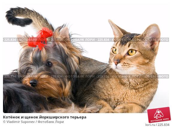 Котёнок и щенок йоркширского терьера, фото № 225834, снято 11 декабря 2007 г. (c) Vladimir Suponev / Фотобанк Лори