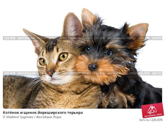Котёнок и щенок йоркширского терьера, фото № 225878, снято 15 сентября 2007 г. (c) Vladimir Suponev / Фотобанк Лори