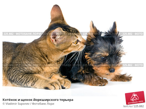 Котёнок и щенок йоркширского терьера, фото № 225882, снято 15 сентября 2007 г. (c) Vladimir Suponev / Фотобанк Лори