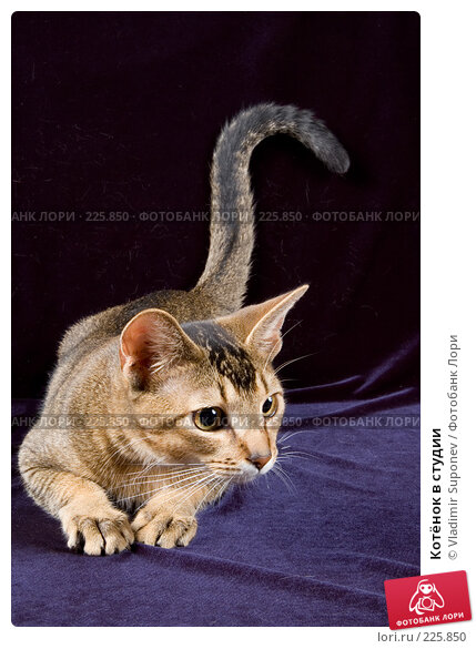 Котёнок в студии, фото № 225850, снято 26 ноября 2007 г. (c) Vladimir Suponev / Фотобанк Лори