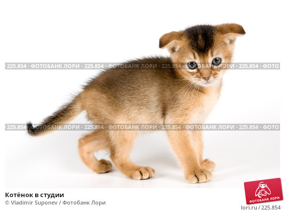 Котёнок в студии, фото № 225854, снято 11 декабря 2007 г. (c) Vladimir Suponev / Фотобанк Лори