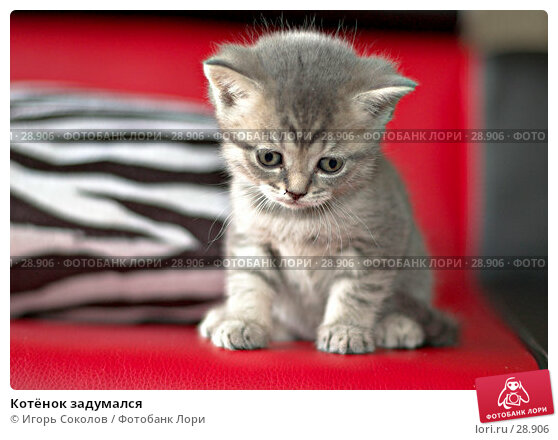 Котёнок задумался, фото № 28906, снято 13 мая 2006 г. (c) Игорь Соколов / Фотобанк Лори