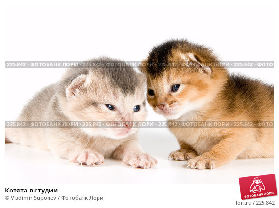 Котята в студии, фото № 225842, снято 11 декабря 2007 г. (c) Vladimir Suponev / Фотобанк Лори