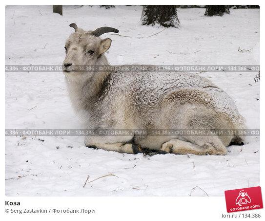 Коза, фото № 134386, снято 7 ноября 2004 г. (c) Serg Zastavkin / Фотобанк Лори