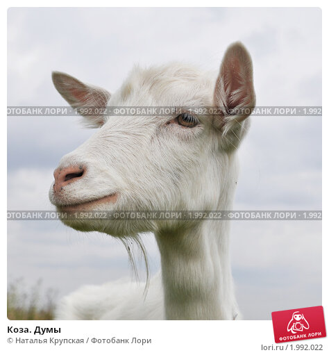 Купить «Коза. Думы», фото № 1992022, снято 14 сентября 2010 г. (c) Наталья Крупская / Фотобанк Лори