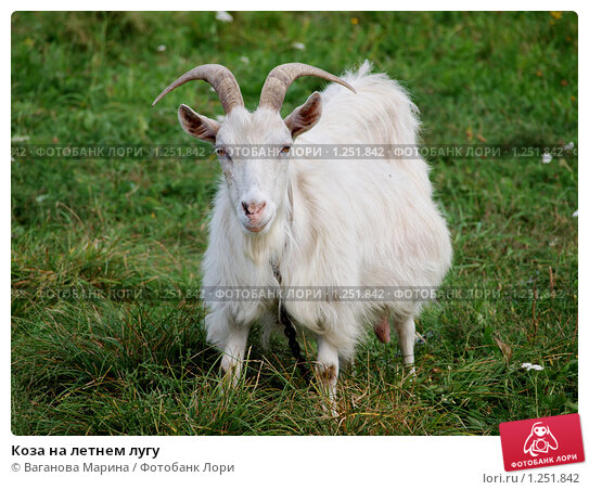 Купить «Коза на летнем лугу», фото № 1251842, снято 12 сентября 2009 г. (c) Ваганова Марина / Фотобанк Лори