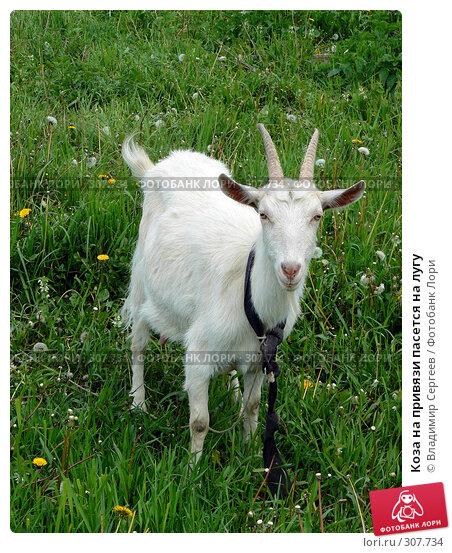 Коза на привязи пасется на лугу, фото № 307734, снято 1 июня 2008 г. (c) Владимир Сергеев / Фотобанк Лори