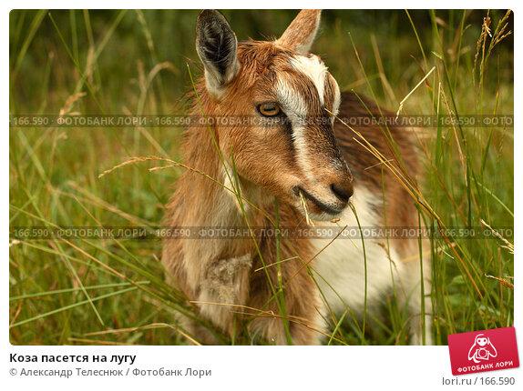 Коза пасется на лугу, фото № 166590, снято 23 июня 2007 г. (c) Александр Телеснюк / Фотобанк Лори