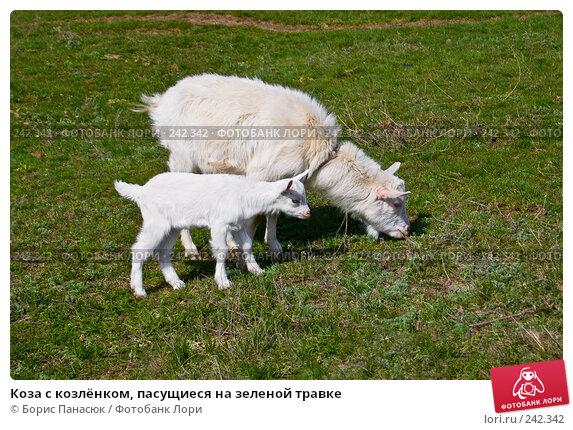 Коза с козлёнком, пасущиеся на зеленой травке, фото № 242342, снято 29 марта 2008 г. (c) Борис Панасюк / Фотобанк Лори