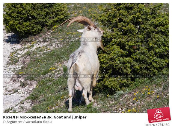 Козел и можжевельник. Goat and juniper, фото № 274150, снято 26 апреля 2008 г. (c) Argument / Фотобанк Лори