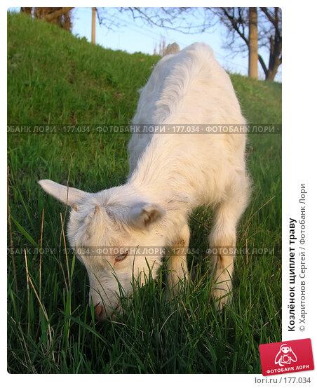 Козлёнок щиплет траву, фото № 177034, снято 11 апреля 2006 г. (c) Харитонов Сергей / Фотобанк Лори