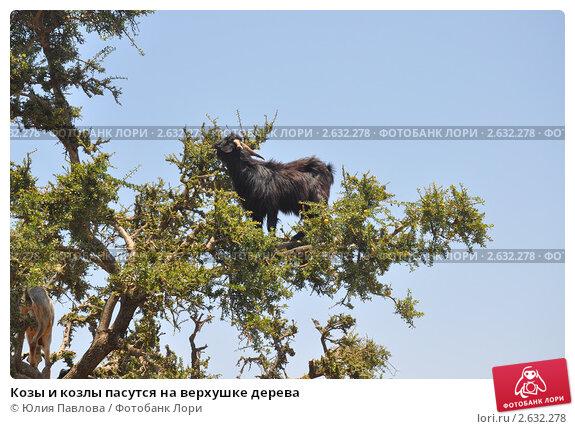 Козы и козлы пасутся на верхушке дерева (2011 год). Стоковое фото, фотограф Юлия Павлова / Фотобанк Лори