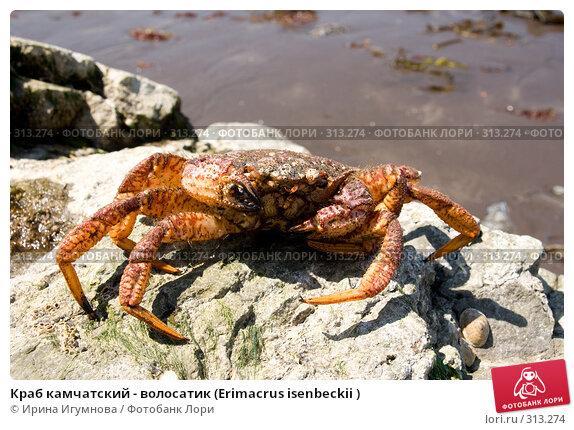 Краб камчатский - волосатик (Erimacrus isenbeckii ), фото № 313274, снято 6 июня 2008 г. (c) Ирина Игумнова / Фотобанк Лори