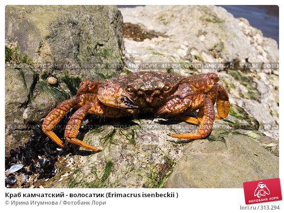 Краб камчатский - волосатик (Erimacrus isenbeckii ), фото № 313294, снято 6 июня 2008 г. (c) Ирина Игумнова / Фотобанк Лори