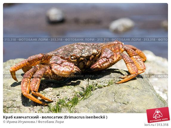 Краб камчатский - волосатик (Erimacrus isenbeckii ), фото № 313318, снято 6 июня 2008 г. (c) Ирина Игумнова / Фотобанк Лори