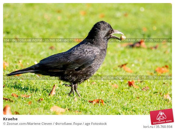 Kraehe. Стоковое фото, фотограф Zoonar.com/Marlene Cleven / age Fotostock / Фотобанк Лори