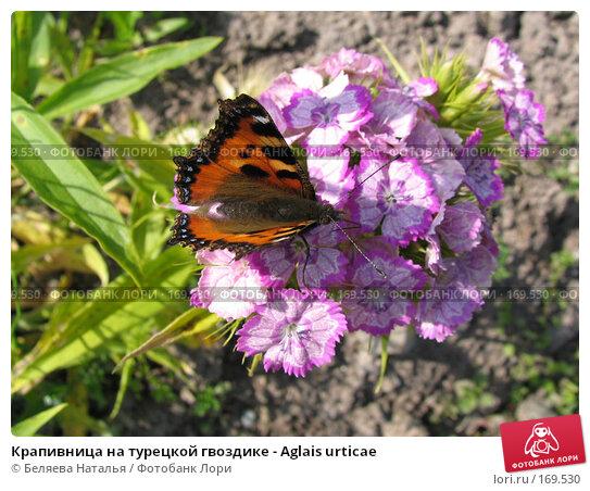 Крапивница на турецкой гвоздике - Aglais urticae, фото № 169530, снято 8 июля 2006 г. (c) Беляева Наталья / Фотобанк Лори
