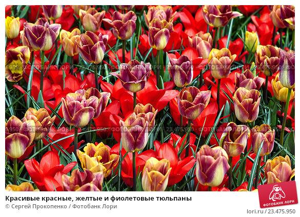 Купить «Красивые красные, желтые и фиолетовые тюльпаны», фото № 23475950, снято 2 мая 2016 г. (c) Сергей Прокопенко / Фотобанк Лори